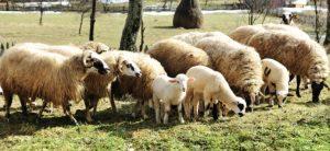 Seminar cu crescătorii de ovine și caprine